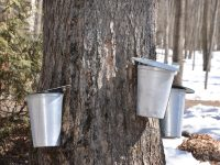 Maple Syrup Tour at Shepherd's Corner
