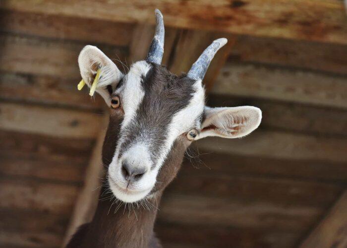 fair farm goat animal