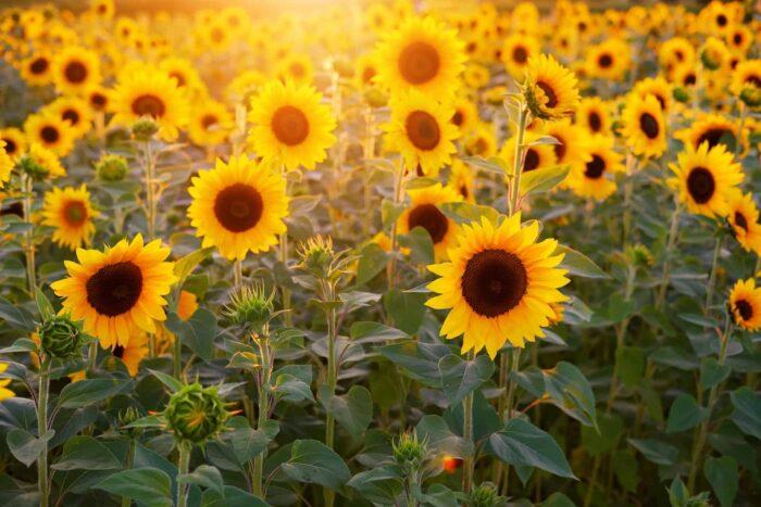 sunflower fields, sunflower festival