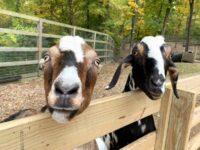 goats Olentangy Indian Caverns